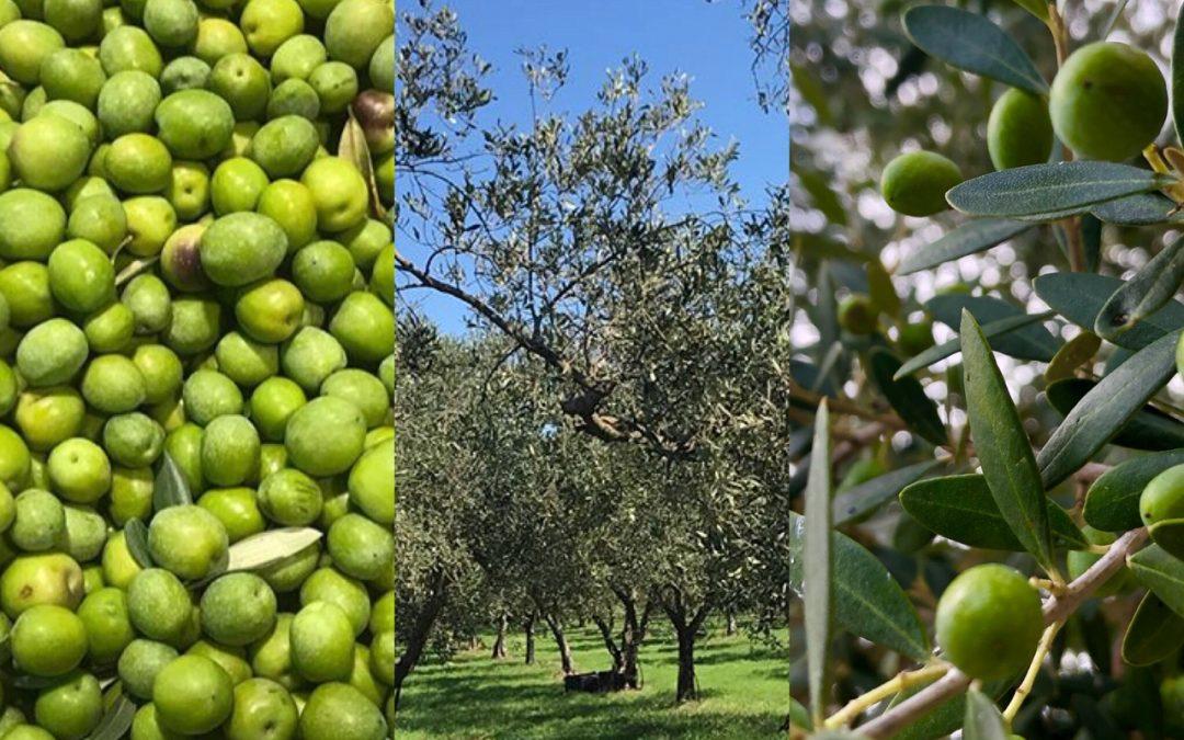 Olio buono extravergine di oliva